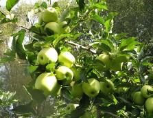 Only an apple tree with healthy leaves will produce top yields. (Photograph: Duilio Porro, IASMA)